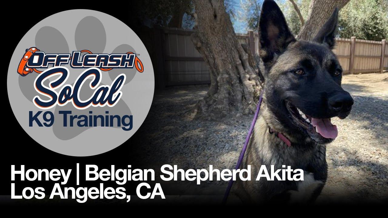 Honey | Belgian Shepherd Akita | Los Angeles, CA