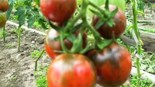 семена почтой интернет магазин(Редкие семена помидор! Семена почтой http://фечшоп.рф., 2015-10-25T08:30:31.000Z)