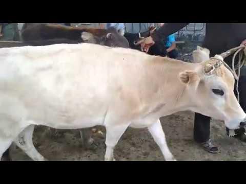 Рынок скота Озгон. Озгон мал базары. Уй.  Жылкы. Кой. ж.б. 👍👍👍🇰🇬🐎🐴🐃🐐