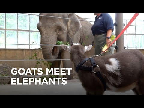 Tiny Goats Visit Elephants