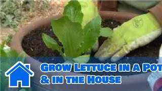 Growing Greens : How to Grow Lettuce in a Pot & in the House