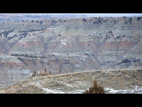 Bighorn Sheep Season Update! NDGNF