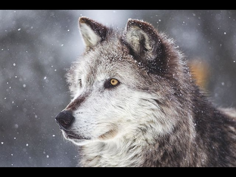 10 Facts About Wolves That Will Blow Your Freakin Mind