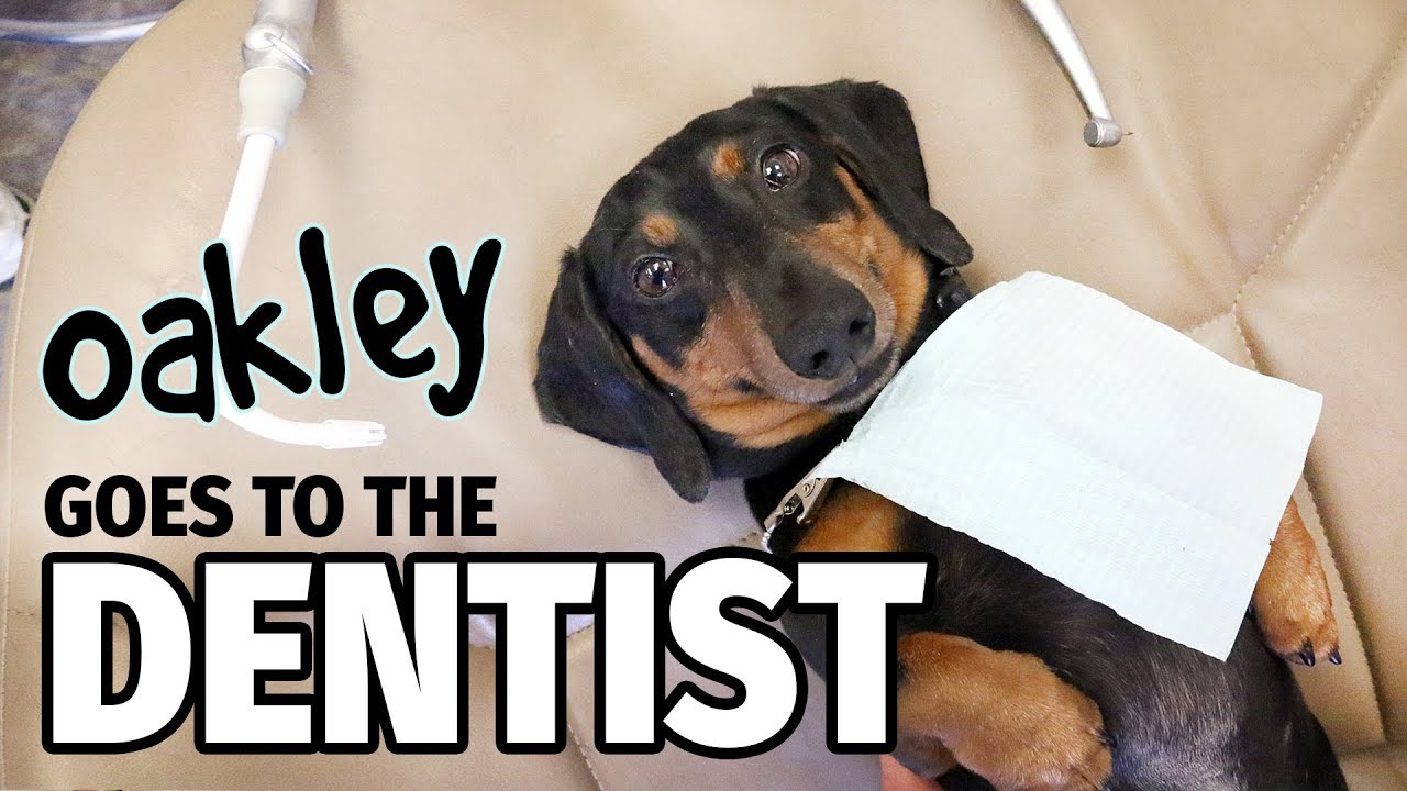 Download Ep 12: Oakley Goes to the Dentist (FINALE) - Cute Dachshund Video