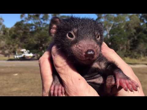 Cutest Tasmanian devil video EVER!