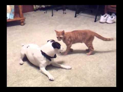 Playful Kitten & Jack Russell Terrier.