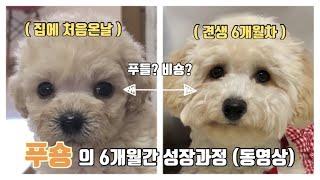 [ 푸숑 ] 콩돌이의 6개월간 성장동영상 / 푸들 + …
