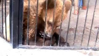 Видео. Бурый медвежонок лижет себе лапу и рычит от удовольствия.