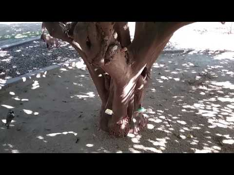 Citrus Tree Diseases Leaf Curl Mesa AZ 480 969 8808 Warner's Tree Surgery 10 12 2017