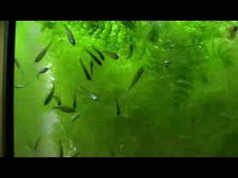Leucaspius delineatus playing in waterflow