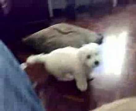 Coton de Tulear puppy playing