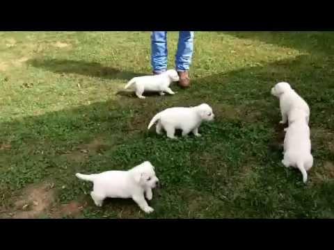 White Labrador Retriever Puppies