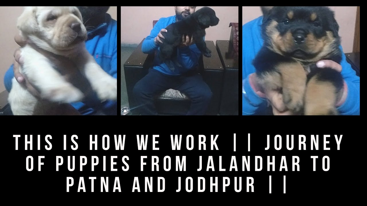 This Is How We Work Journey Of Puppies From Jalandhar To Patna
