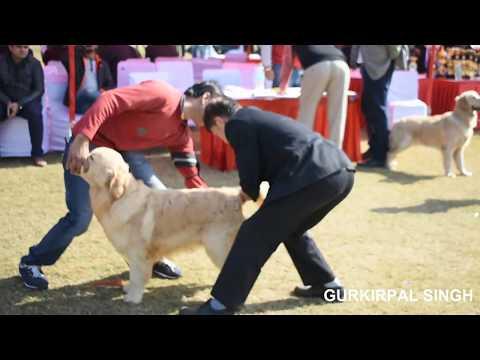 Golden retriever dogs at the Delhi Dog Show