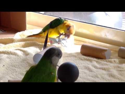 White bellied caique and Senegal parrot