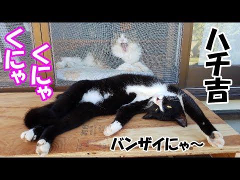 ネコ吉が去った後の対面台でくにゃくにゃしていたハチワレ猫 Mask and Mantle Cat was so playful
