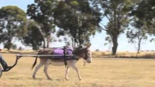Donkey in Cart