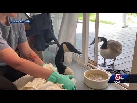 Goose-wont-leave-mate-at-wildlife-rehab-center