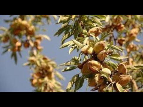 Миндаль сладкий Форос самый урожайный. Прирост саженца за год.