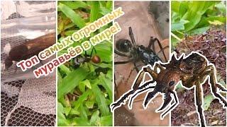 Самые большие муравьи на Земле