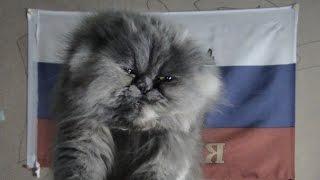 беременность и роды у персидских кошек