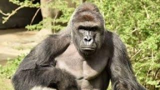 Cincinnati Zoo Kills Gorilla To Save Boy Who Fell Into Its Enclosure