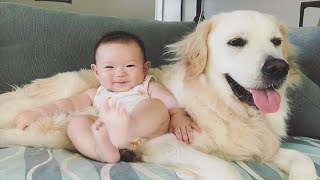 Baby with Golden Retriever always being friendly with each other | Dog loves Baby Compilation