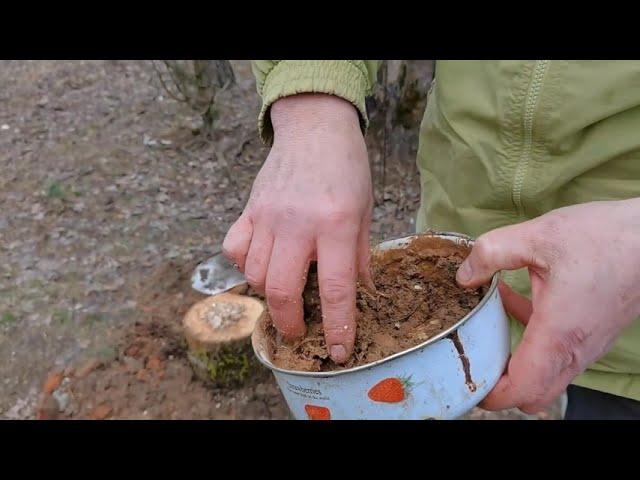 Как правильно посадить грибы вешенка на даче? Грибной бизнес.