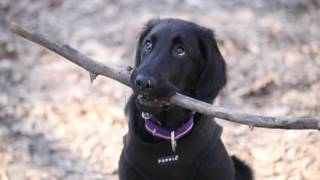 Artemis the Flatcoated Retriever  A video scrapbook