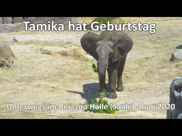 4k // Tamika eine junge Elefantendame feiert Geburtstag - Unterwegs im Bergzoo Halle (Saale)