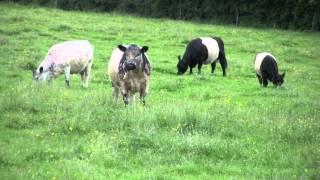 Les vaches du Luxembourg