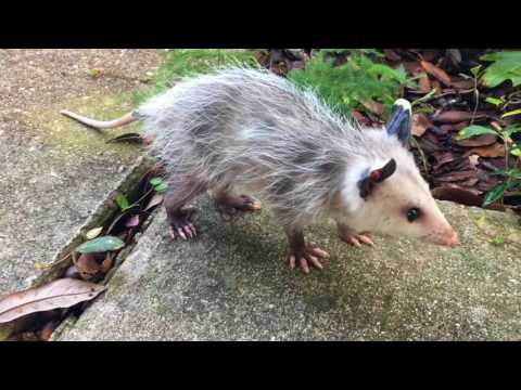 Adorable baby possum pays a visit in New Orleans