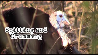 Gobbler Spitting and Drumming - Up close and personal public land Thunder Chicken