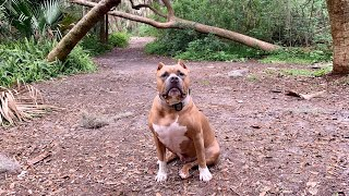 Off Leash With Pitbull | Short Forest Walk