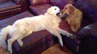 Golden Retriever And Great Pyrenees
