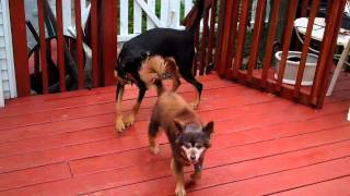 Old Dog Vs Rottweiler / Labrador Puppy In Wayne Nj