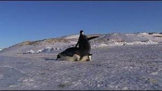 ペンギンは自分の意思とはうらはらによく転ぶ。その姿がなんとも可愛ら...