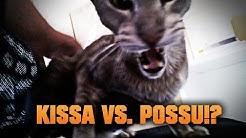 Kissa Vs. Possu!?