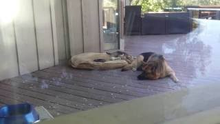 German Shepherd Puppy: Nap Time