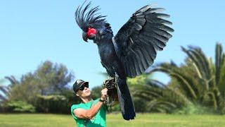 Посмотрите, на Что Способна Самая Дорогая Птица в Мире
