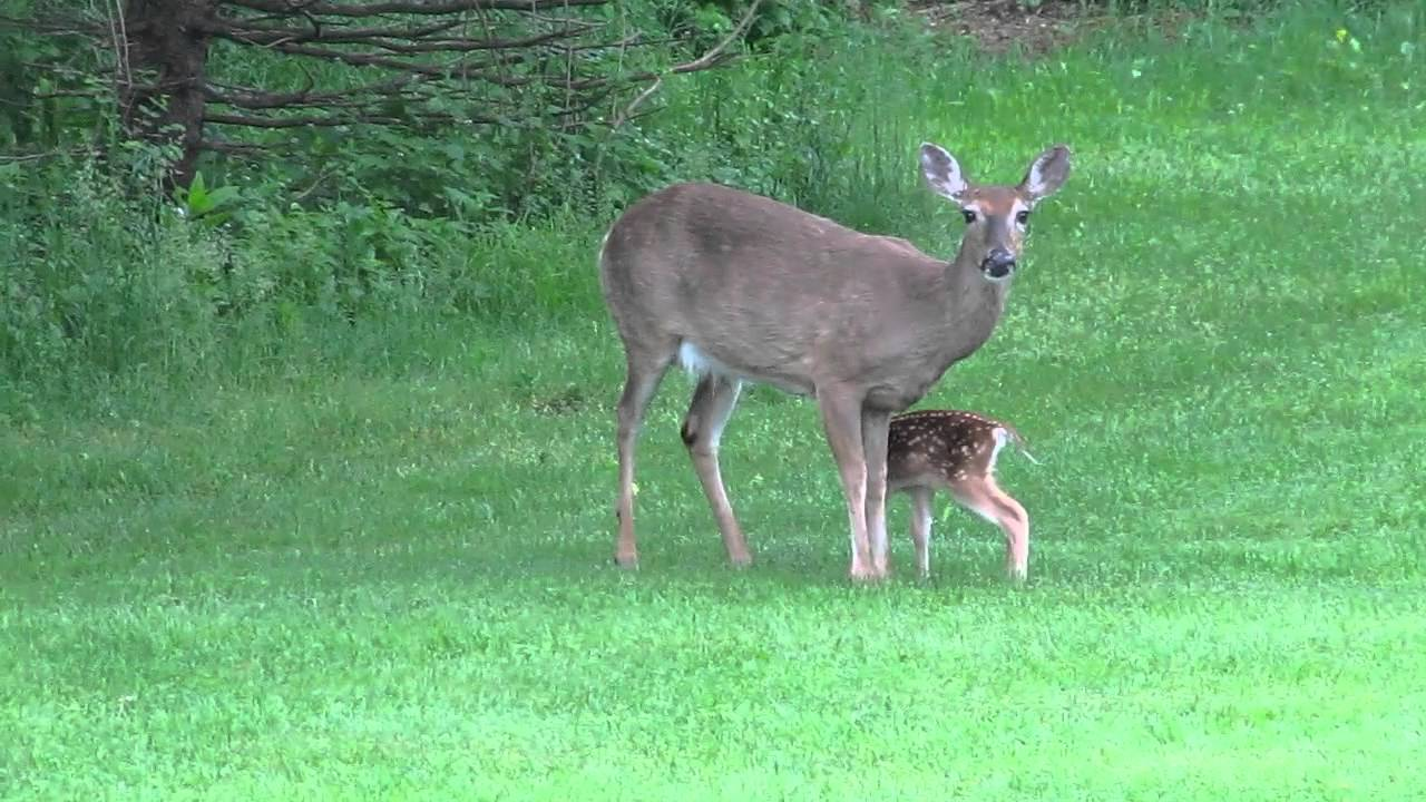Baby Deer and Its Mom (HD) - YouTube