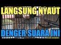 Perkutut Lokal Gaco Dijamin Perkutut Lain Iku Bunyi  Mp3 - Mp4 Download