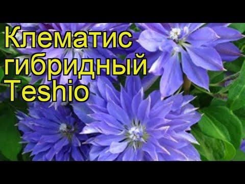 Клематис гибридный Teshio. Краткий обзор, описание характеристик, где купить саженцы, крупномеры