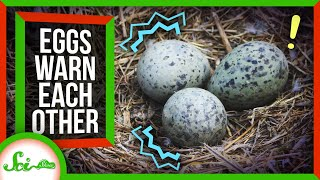 Bird Eggs Warn Each Other About Danger
