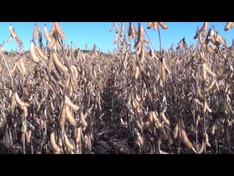 Soybean School -  Double Crop Soybeans