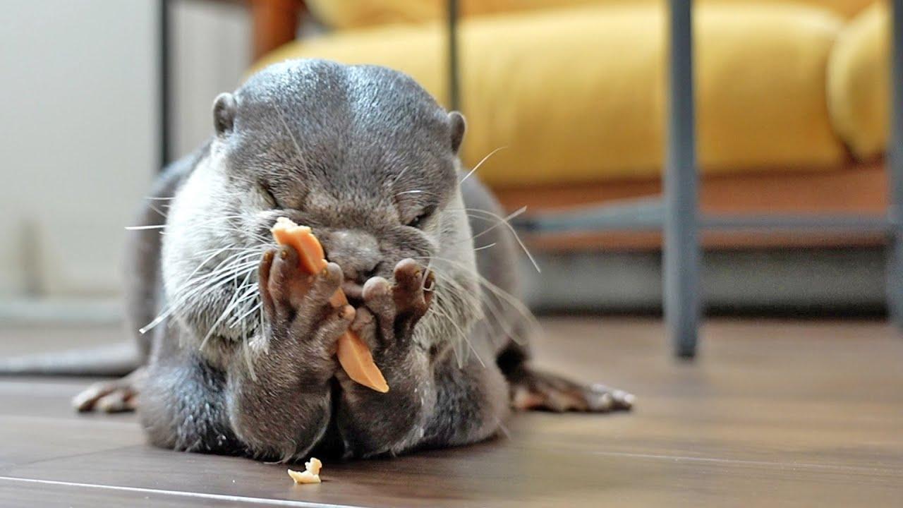 Cutest ever jerky craving Otter Bingo&Belle