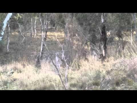 Kangaroos in Canberra