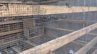 USA CANADA MIDDLE EAST TAIWAN EXPORT KULBACKI COMPANY FOR PIGEONS RACE