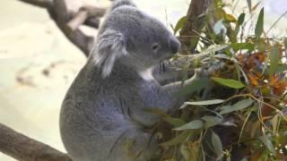 多摩動物公園、コアラの食事風景です。1日20時間は寝ているというコアラ...