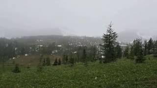 『旅人ゆき』の「ヒーリーメドウ」のカタクリの花の様子Glacier Lily,Healy Meadow thumbnail